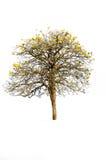 Drzewny dicut Obrazy Royalty Free