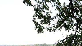 Drzewny dmuchanie w wiatrze zbiory wideo
