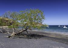 Drzewny dorośnięcie na powulkanicznej piasek plaży zdjęcia stock