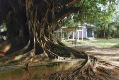 Drzewny dorośnięcie nad budynkiem Fotografia Royalty Free