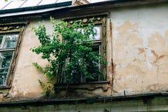 Drzewny dorośnięcie od okno rujnujący zaniechany dom Zdjęcia Royalty Free