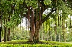 Drzewny duży w parku Obrazy Stock