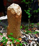 Drzewny fiszorek żuć bobrem w Lasowym drewnie Zdjęcia Royalty Free