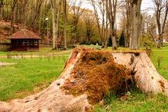 Drzewny fiszorek Fotografia Stock