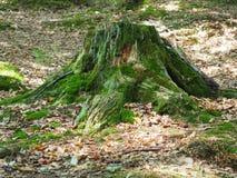 Drzewny fiszorek w lesie zakrywającym z zielonym mech obraz stock