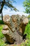Drzewny fiszorek z wieloskładnikowymi cutt-off bagażnika sekcjami przeciw zielonej trawie i niebieskiemu niebu na słonecznym dniu obraz royalty free