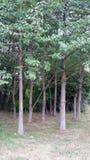 Drzewny gaj Obraz Royalty Free