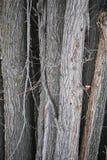 Drzewny grono 1 Zdjęcia Royalty Free