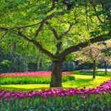 Drzewny i tulipanowy kwiatu ogród pole w wiośnie lub. Holandie Obrazy Royalty Free