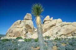 Drzewny Joshua Park Narodowy, CA Zdjęcia Royalty Free