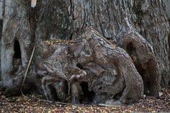 Drzewny karcz i korzeń Obraz Stock