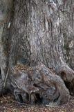 Drzewny karcz i korzeń Zdjęcia Stock