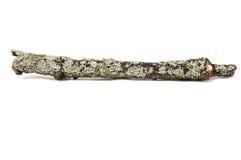Drzewny kij z mech Zdjęcie Royalty Free