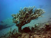 Drzewny koral Zdjęcie Stock