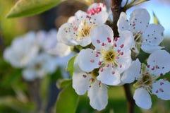 Drzewny kwiat Zdjęcie Stock