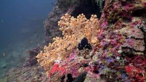 Drzewny miękki koral delikatnie różowy i biały podwodny zadziwiający dno morskie w Maldives zbiory wideo