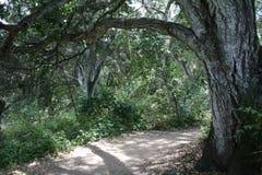Drzewny nadwieszenie Obraz Royalty Free