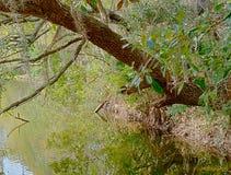Drzewny obwieszenie nad stawem zdjęcia stock