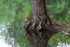 Drzewny odbicie Zdjęcie Royalty Free