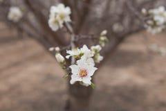 Drzewny okwitnięcia zakończenie w górę Białego Migdałowego kwiatu Zdjęcia Royalty Free