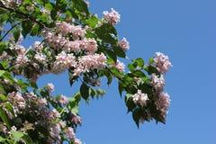Drzewny okwitnięcie w Sommer Zdjęcie Stock