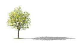 drzewny orzech włoski Fotografia Royalty Free