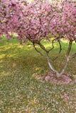 Drzewny pełny różowi kwitnienie kwiaty, płatki na zielonym gazonie i Obraz Royalty Free