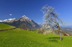 Drzewny pełny z białych kwiatów i Niesen moutain widokiem od Aeschiried Obrazy Stock