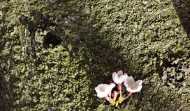 drzewny Sakura bagażnik Obraz Royalty Free