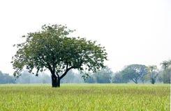 Drzewny samodzielny w Szerokim Rice polu Zdjęcie Royalty Free