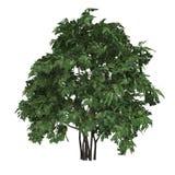 Drzewny Staphyella pinnata obrazy royalty free