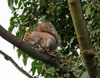 Drzewny szczur Obraz Royalty Free