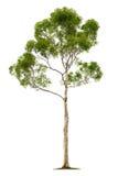 drzewny tło biel Zdjęcia Royalty Free