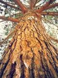 Drzewny traken Zdjęcie Stock