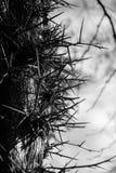 Drzewny trzon Z Dużym Prickles Gleditsia zdjęcie stock