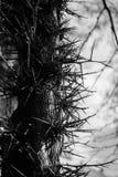 Drzewny trzon Z Dużym Prickles Gleditsia fotografia royalty free