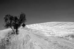Drzewny Tuscany Zdjęcie Stock