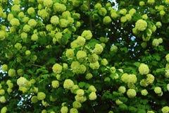 Drzewny viburnum Zdjęcie Royalty Free