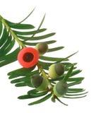 drzewny yew Obraz Stock