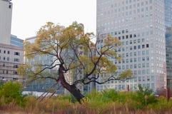 Drzewny Zelkova serrata jako ocalały urbanizacja w m po raz ostatni fotografia royalty free