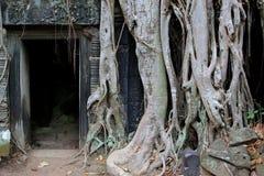 Drzewnych bagażników dżungli Ta Prohm Ankor antyczna świątynia, Kambodża Zdjęcie Stock