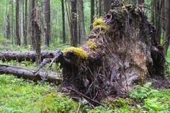 Drzewo łamający błyskawicą w zwartym lesie zdjęcia stock