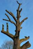 Drzewo ścinający wierzchołek Zdjęcie Royalty Free