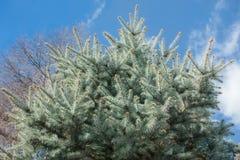 drzewo świerczyny tło Zdjęcia Stock