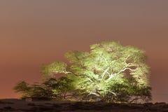 Drzewo życie w Bahrajn Zdjęcie Stock