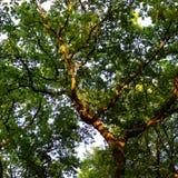 Drzewo 002 Obraz Stock