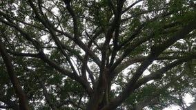 drzewo afrykańskiej Zdjęcia Royalty Free