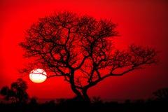 drzewo afrykańskiej Obrazy Stock