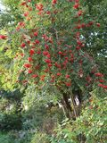 Drzewo ashberry Obrazy Stock