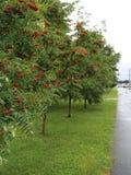 Drzewo ashberry Fotografia Royalty Free
